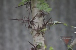 Blackthorn (Locust).jpg